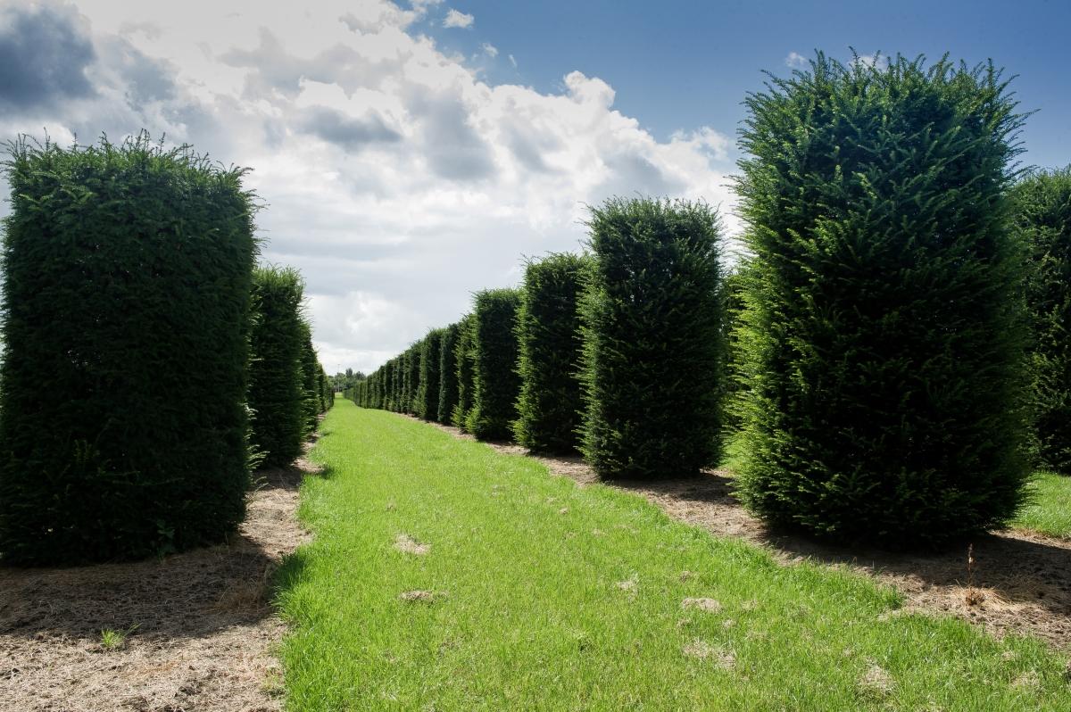 Evergreen pflanzen excellent garten designideen modern for Evergreen pflanzen