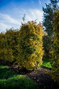 Hecken Pflanzen Varia Vert (1)
