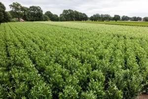 Hecken Pflanzen Varia Vert (12)