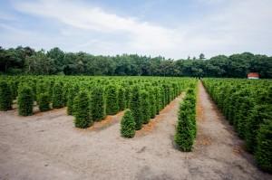 Hecken Pflanzen Varia Vert (2)