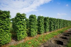 Hecken Pflanzen Varia Vert (3)