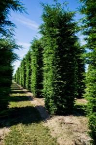 Hecken Pflanzen Varia Vert (4)