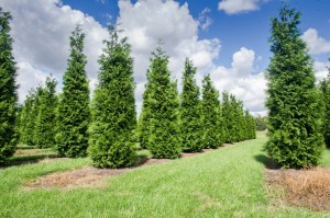 Hecken Pflanzen Varia Vert (8)