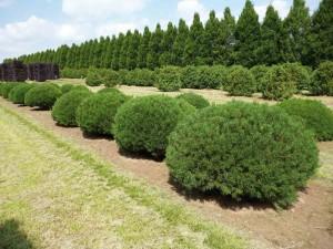 buxus taxus kugel varia vert (13)