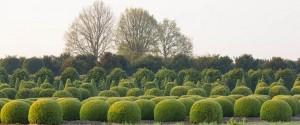 buxus taxus kugel varia vert (14)