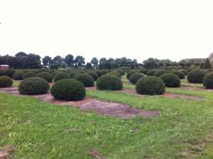 buxus taxus kugel varia vert (16)