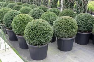 buxus taxus kugel varia vert (22)