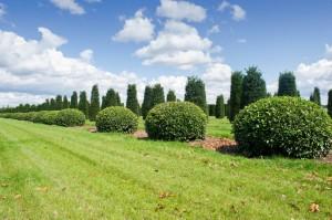 buxus taxus kugel varia vert (6)