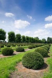 buxus taxus kugel varia vert (9)