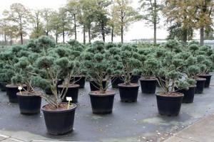Pinus Varia Vert (1)