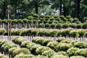 Pinus Varia Vert (12)