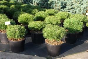 Pinus Varia Vert (14)