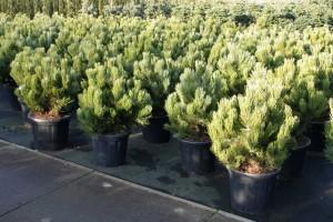 Pinus Varia Vert (15)