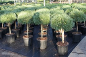 Pinus Varia Vert (17)