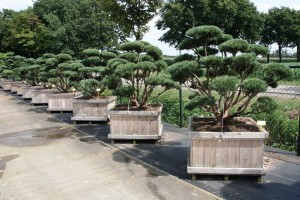 Pinus Varia Vert (2)