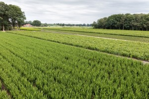 Hecken Pflanzen Varia Vert (11)