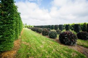 buxus taxus kugel varia vert (10)