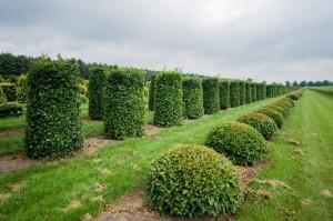 buxus taxus kugel varia vert (11)