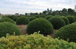buxus taxus kugel varia vert (12)