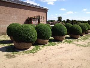 buxus taxus kugel varia vert (15)
