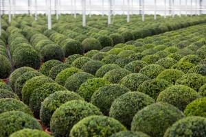 buxus taxus kugel varia vert (17)