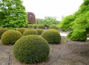 buxus taxus kugel varia vert (18)