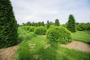 buxus taxus kugel varia vert (2)