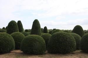 buxus taxus kugel varia vert (21)