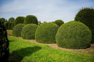 buxus taxus kugel varia vert (4)