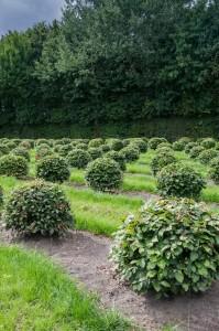buxus taxus kugel varia vert (8)
