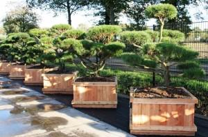 Pinus Varia Vert (13)