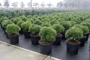 Pinus Varia Vert (16)