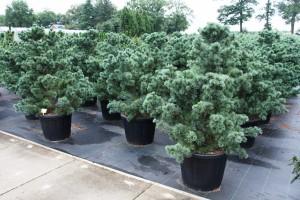 Pinus Varia Vert (18)