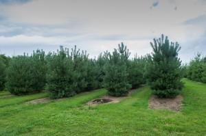 Pinus Varia Vert (5)