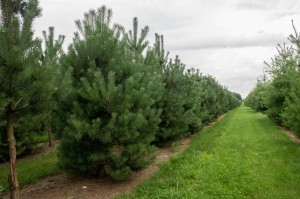 Pinus Varia Vert (6)