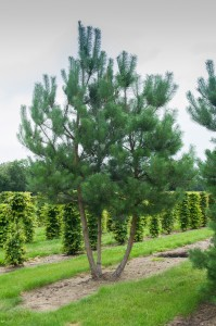Pinus Varia Vert (7)
