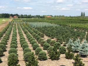 Pinus Varia Vert (9)